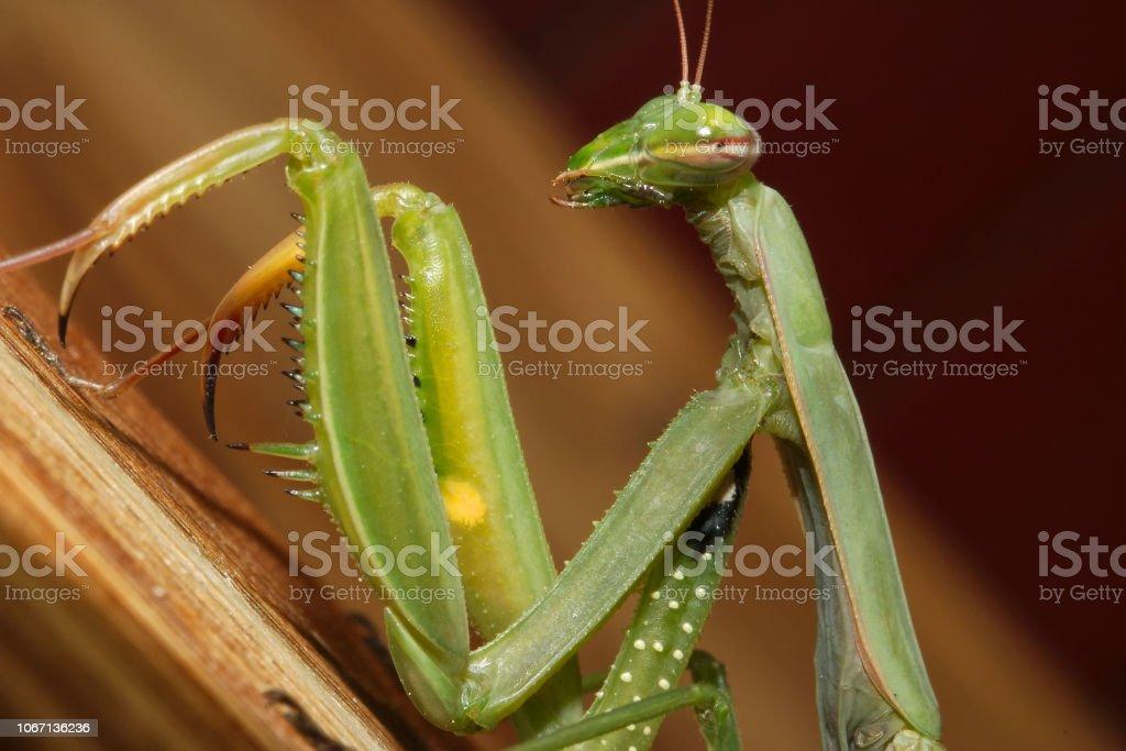the green mantis - foto stock