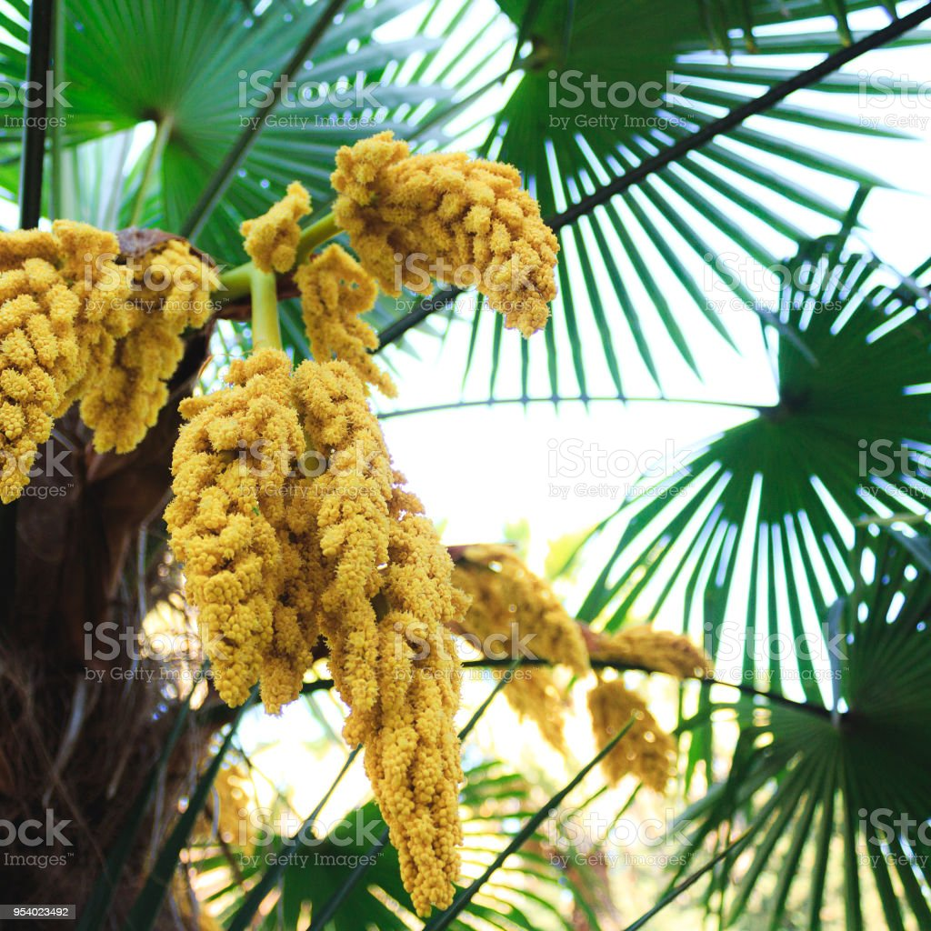 The Green Palm Tree Blooms In Clusters Of Yellow Flowers Flowering