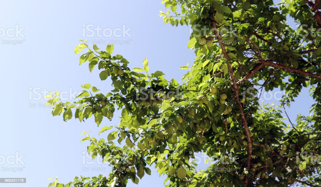 The green plum trees and the early summer sky are full of fruit. royalty-free stock photo