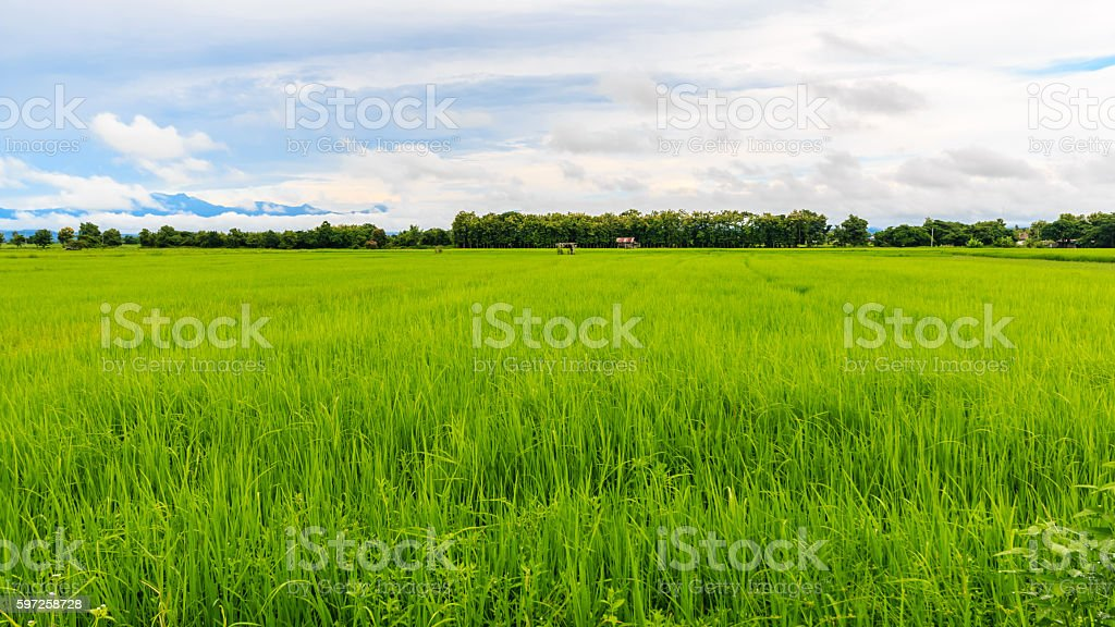 the green rice farm at northern phrae thailand stock photo
