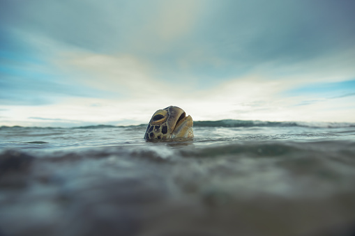 The green sea turtle (Chelonia mydas) sticked her head above water to breathe air. Hikkaduwa coral reef, Sri Lanka. Shot taken with Canon 5D mk III