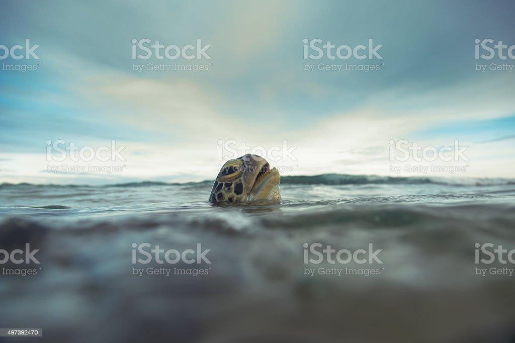 The green sea turtle (Chelonia mydas), Hikkaduwa. stock photo