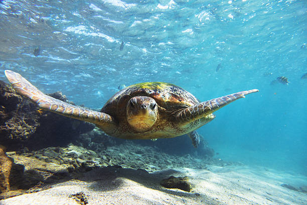 the green sea turtle (chelonia mydas), hikkaduwa. - wildlife stock photos and pictures