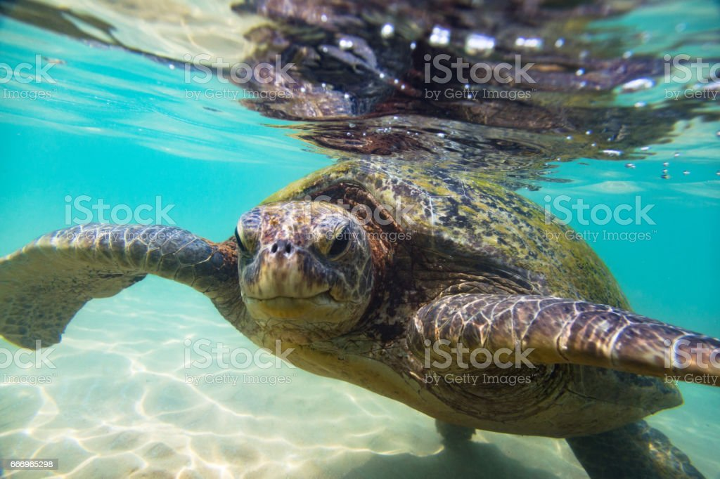 The green sea turtle stock photo