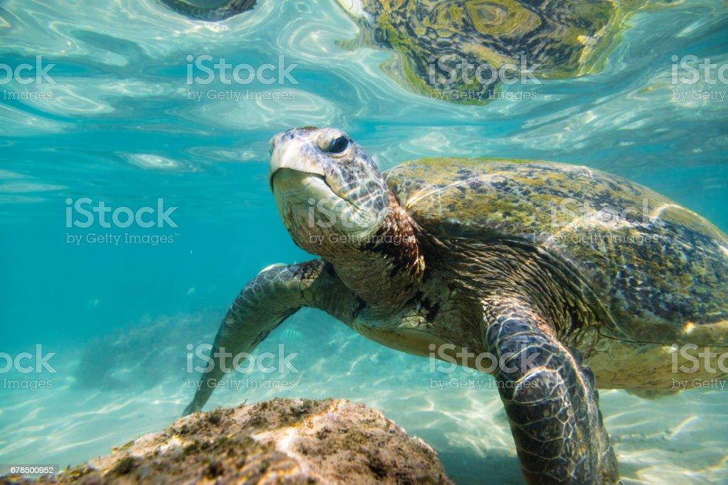 Die Grüne Meeresschildkröte Stock-Fotografie und mehr Bilder von ...