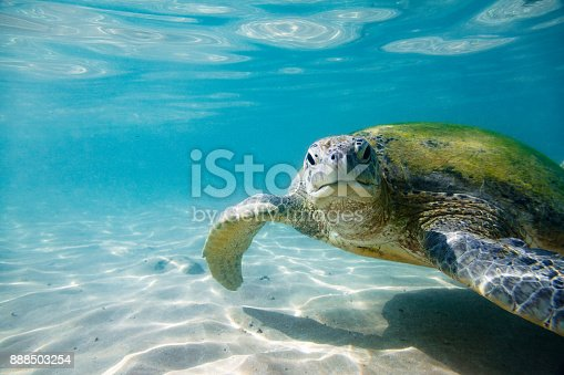 The green sea turtle (Chelonia mydas). Shot taken on Hikkaduwa's coral reef, Sri Lanka