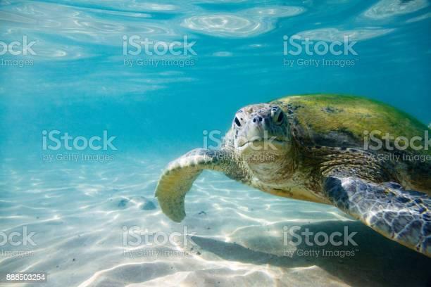 The green sea turtle picture id888503254?b=1&k=6&m=888503254&s=612x612&h=nsaksh1uybe4lb9oewmsjfrwxdzlaqybgjuxhhfkvkg=