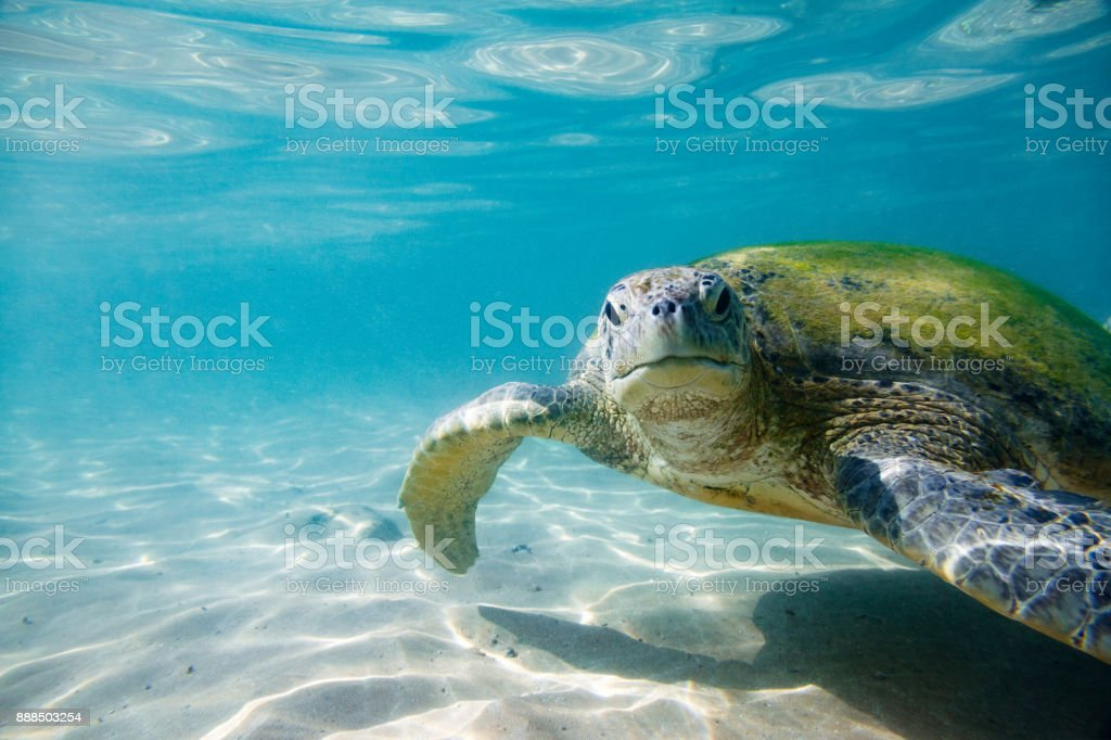 La tortuga verde - foto de stock