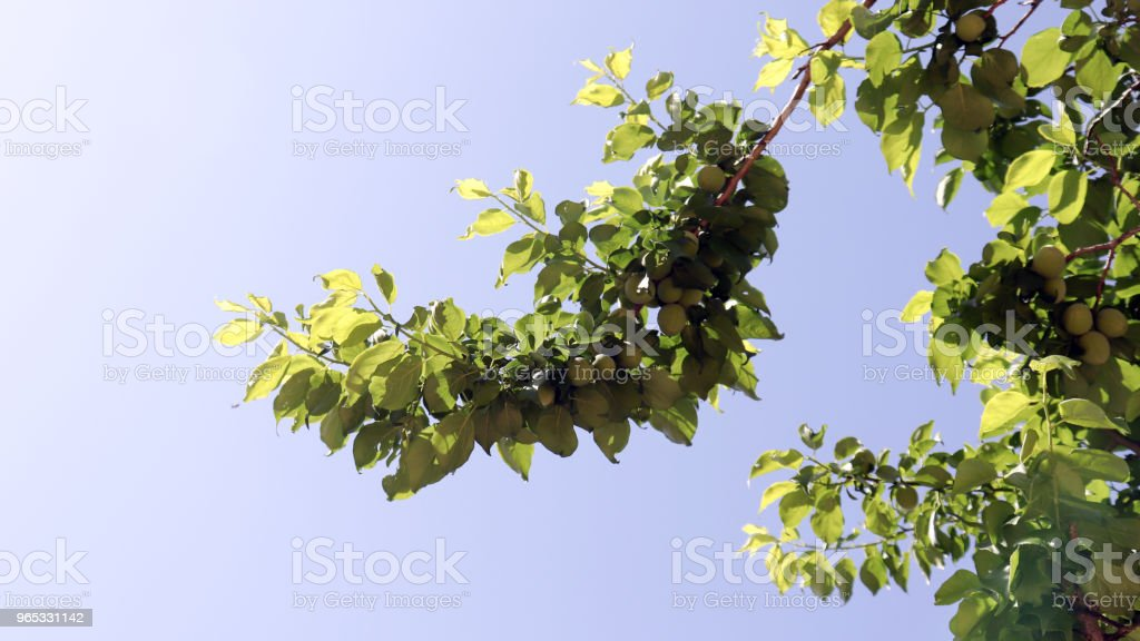 The green sky and plum trees are covered with plums. royalty-free stock photo