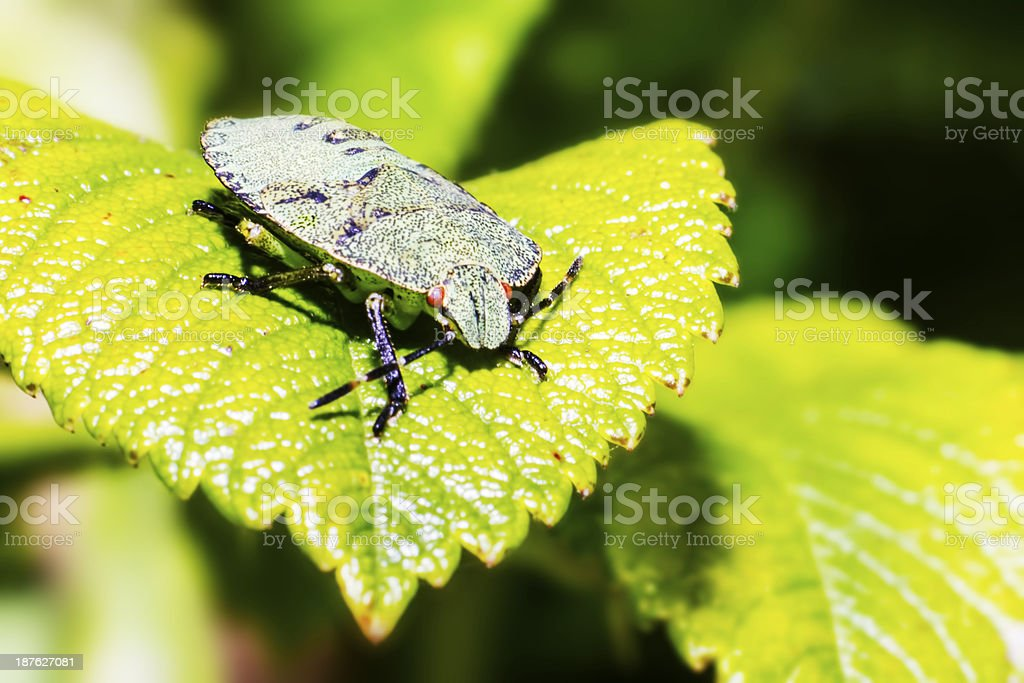The green stink bug (Acrosternum hilare) royalty-free stock photo