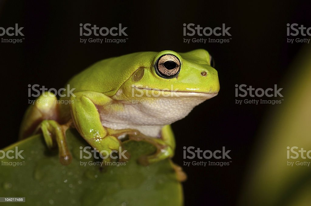 The Green Tree Frog Series stock photo