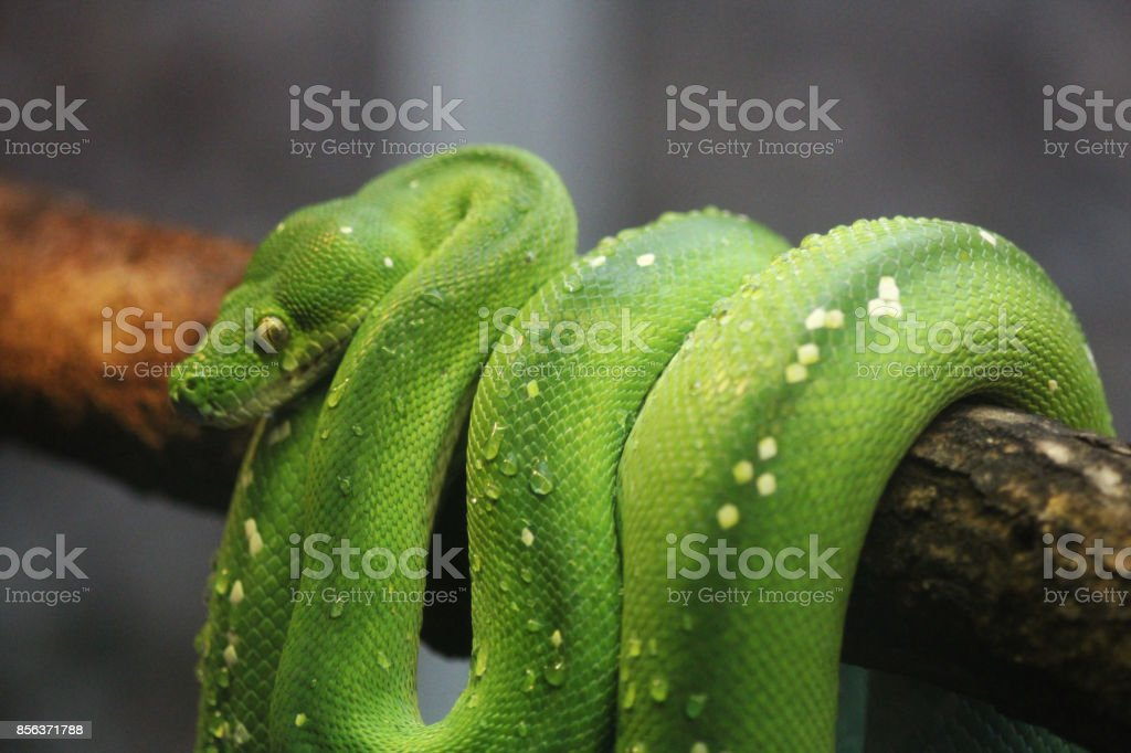The green tree python (Morelia viridis) stock photo