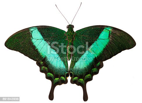 istock The green-banded peacock butterfly isolated on white background 891843936