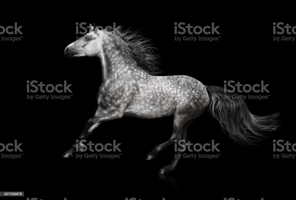 The grey Andalusian stallion gallops on black background stock photo
