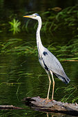 The grey heron is standing in the wetland of Kopacki rit in Croatia