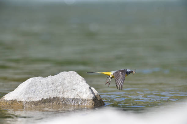 The grey wagtail standing on the stone at river with insects in beak stock photo