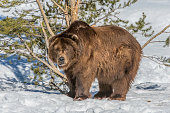 The grizzly bear (Ursus arctos horribilis), also known as the silvertip bear, the grizzly, or the North American brown bear, is a subspecies of brown bear (Ursus arctos). Out in the winter.