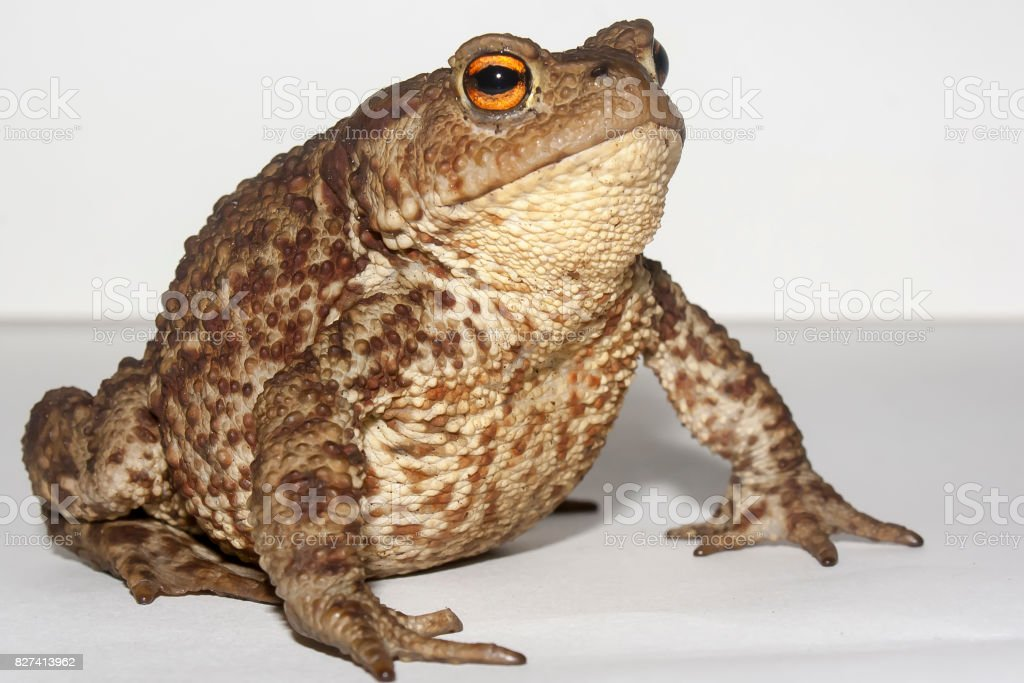 the ground toad stock photo