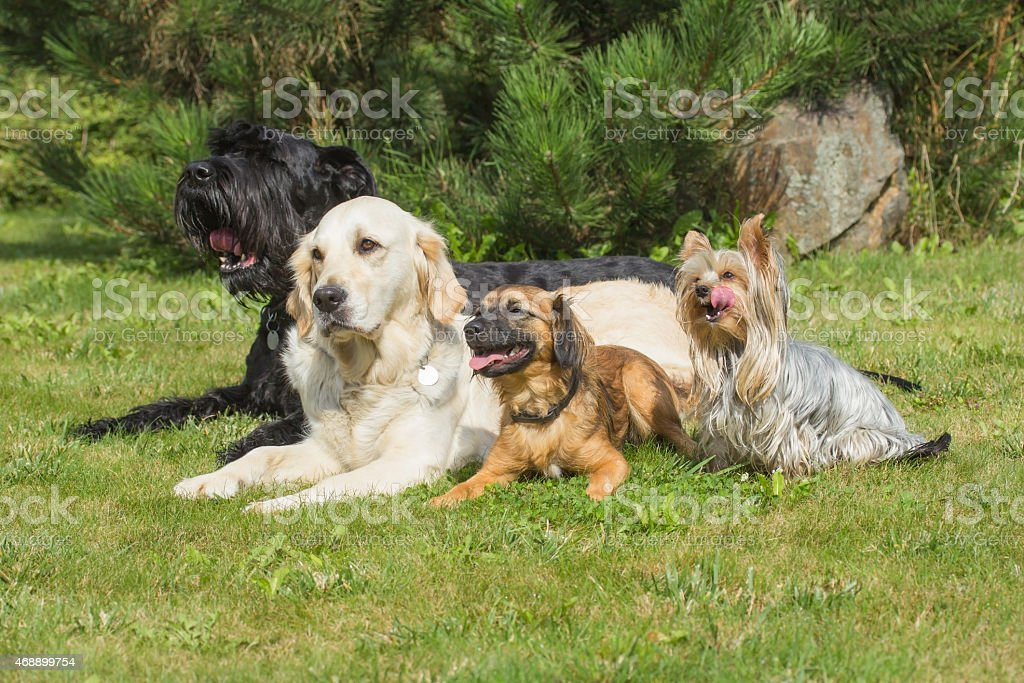 The group of dogs is lying on the lawn stock photo