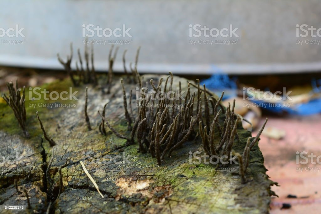 the group of funguses on wood stump stock photo