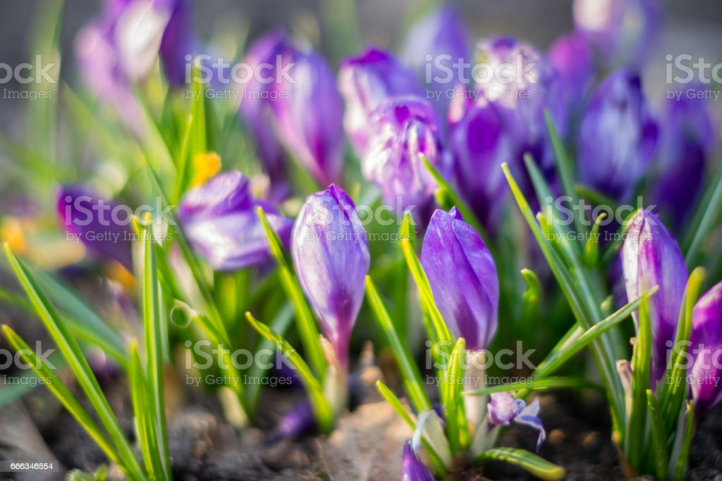 The group of purple Crocuses (Crocus sativus) flowering in the early spring in the wild nature. stock photo