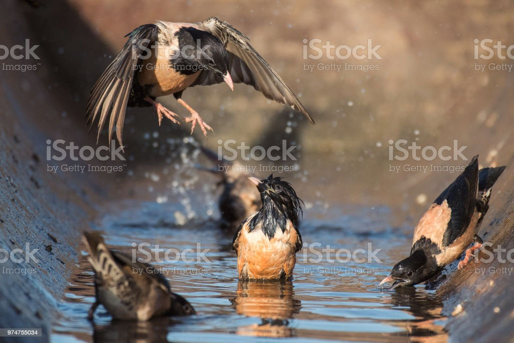 The group of rosy Starling (Sturnus roseus) splashing in the water stock photo