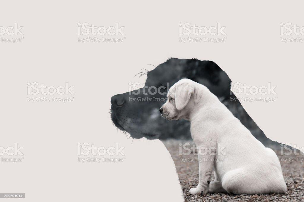 das Wachstum der einen Labrador Retriever Hund vom Welpen bis zum Erwachsenen - isolierte Hund vor einfarbigen Hintergrund mit Textfreiraum – Foto