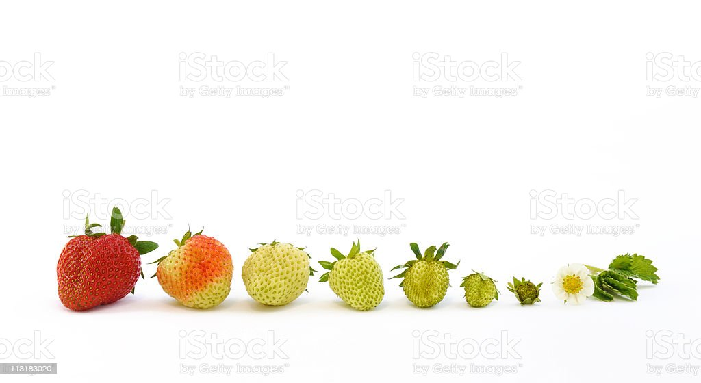 The growth of a strawberry isolated on white background stock photo