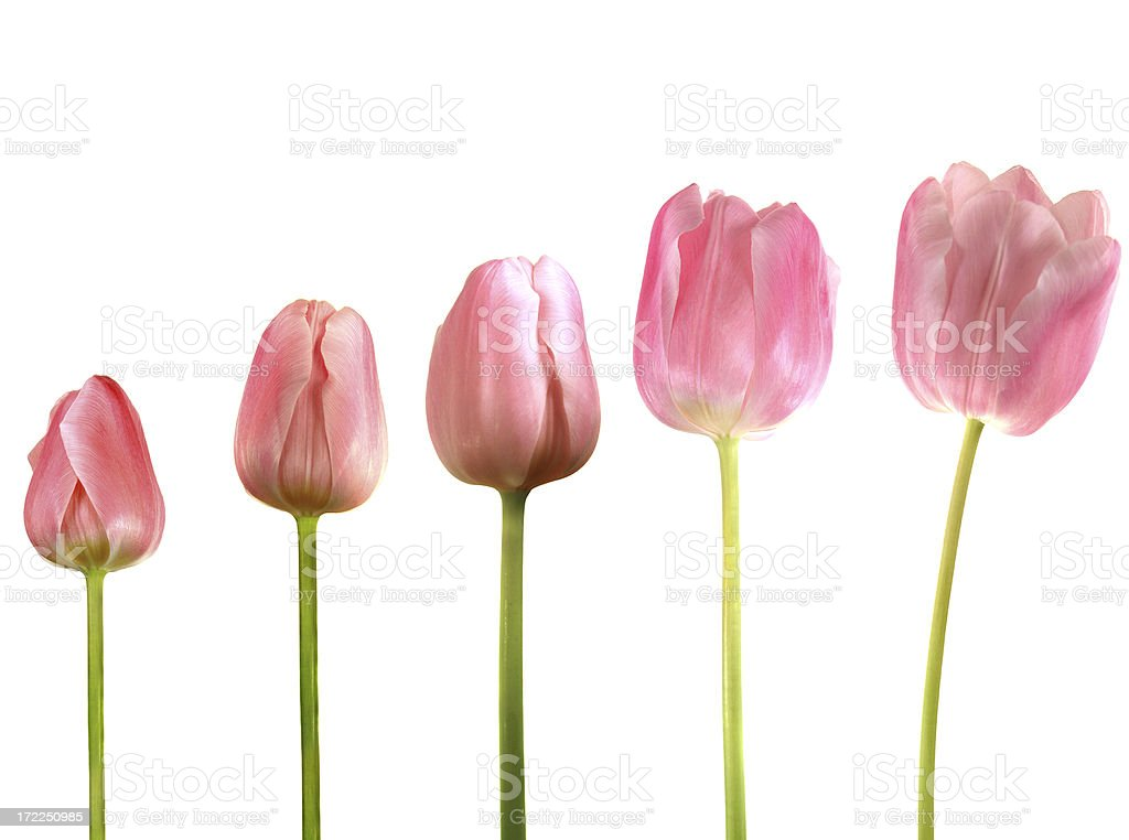 The Growth of a Tulip royalty-free stock photo