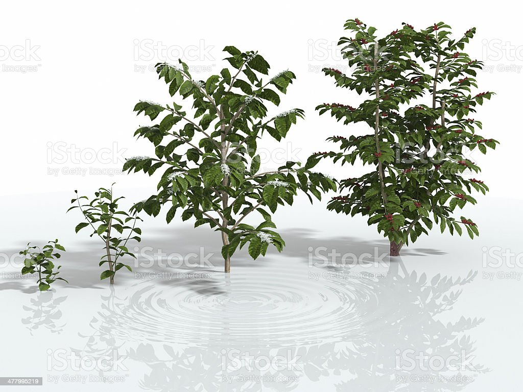 The growth of coffee tree stock photo