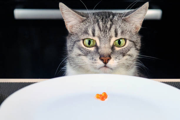 the grumpy cat looks at the empty plate with red caviar. sad cat sitting in front of a table with an empty bowl. human food is harmful to animals. frustrated pet in the kitchen - deplorable stock pictures, royalty-free photos & images