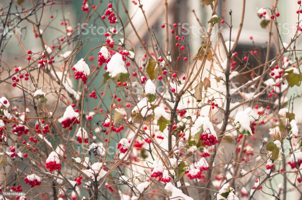 The guelder-rose berries powdered with the dropped-out snow stock photo