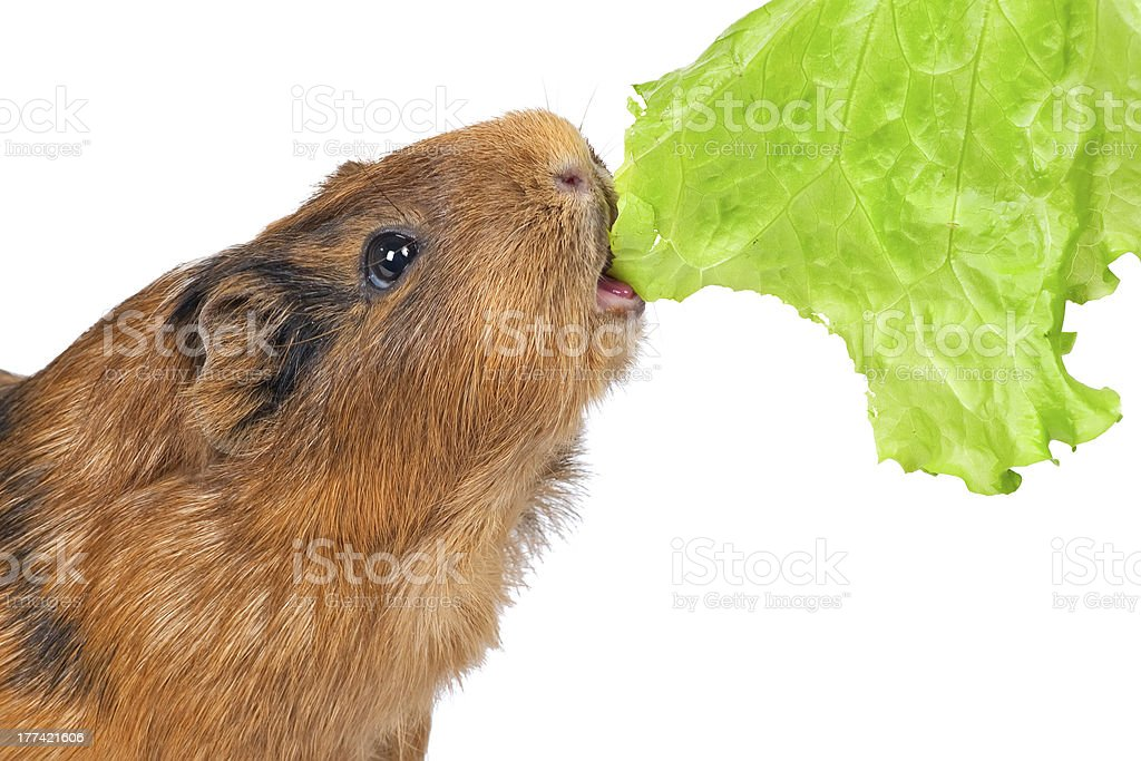 the guinea pig eats a lettuce leaf royalty-free stock photo