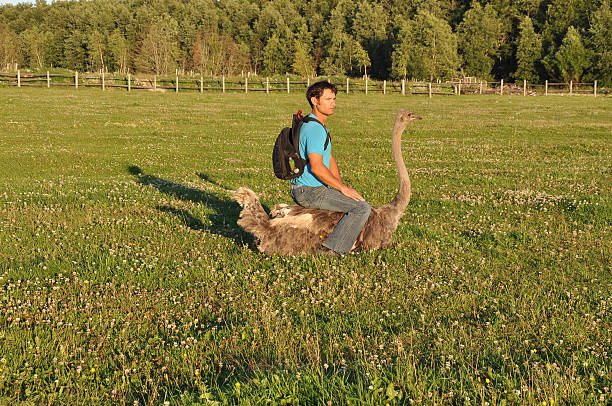 The guy with the backpack sits on ostrich stock photo