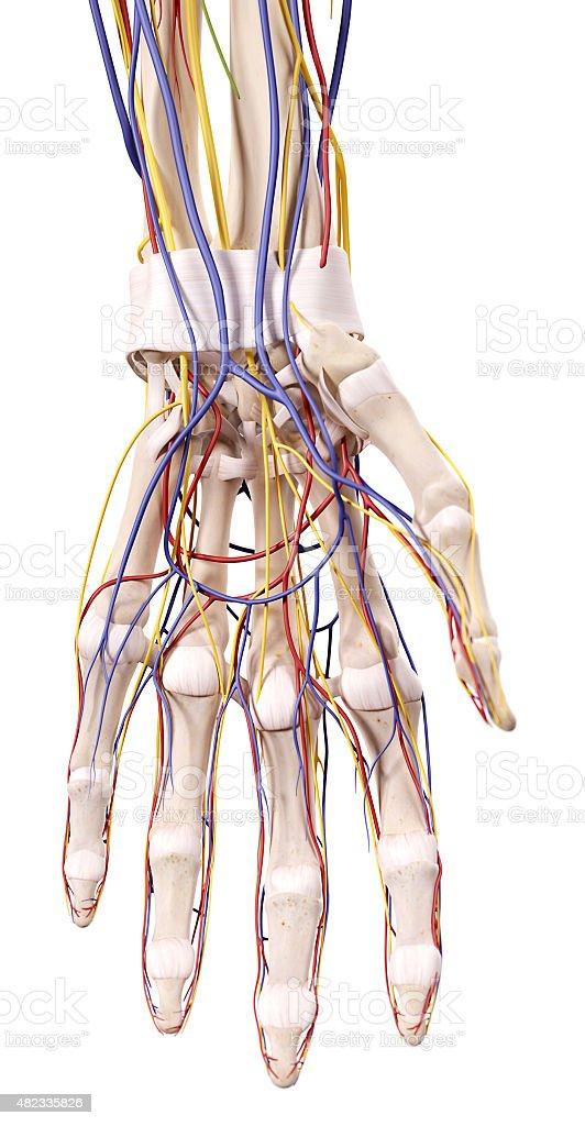 Charmant Anatomie Der Hand Und Handgelenk Mit Sehnen Fotos ...