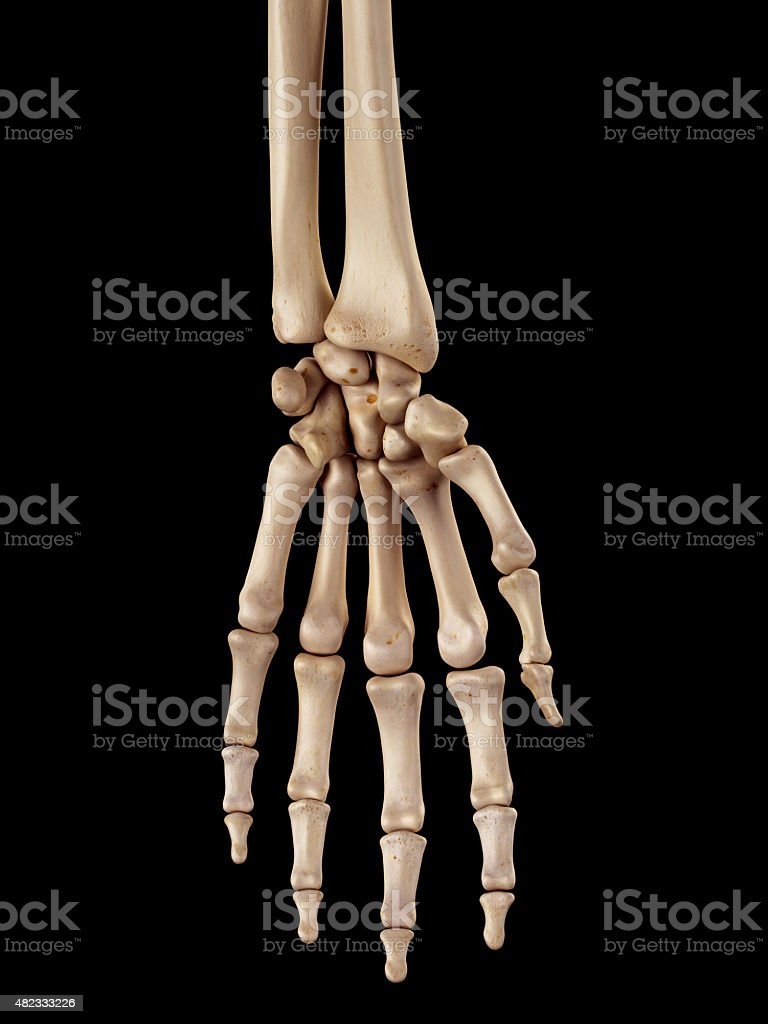 The Hand Bones Stock Photo More Pictures Of 2015 Istock