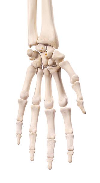 den hand-knochen - skelett hand stock-fotos und bilder