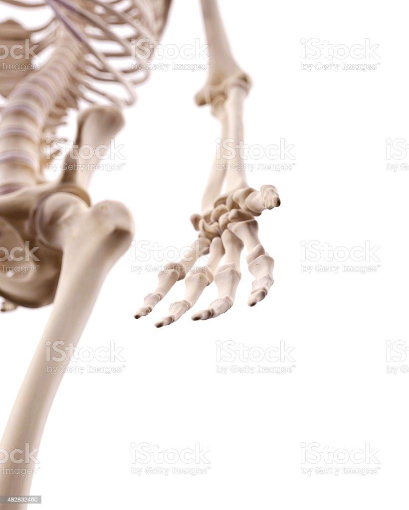 Ausgezeichnet Knochen Hand Anatomie Galerie - Menschliche Anatomie ...