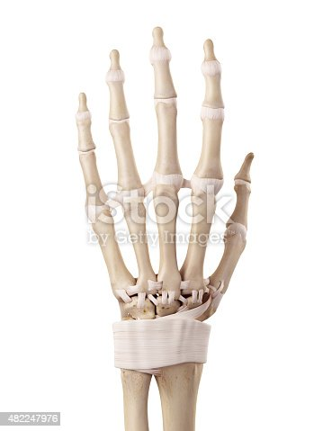 The Hand Ligaments stock photo | iStock