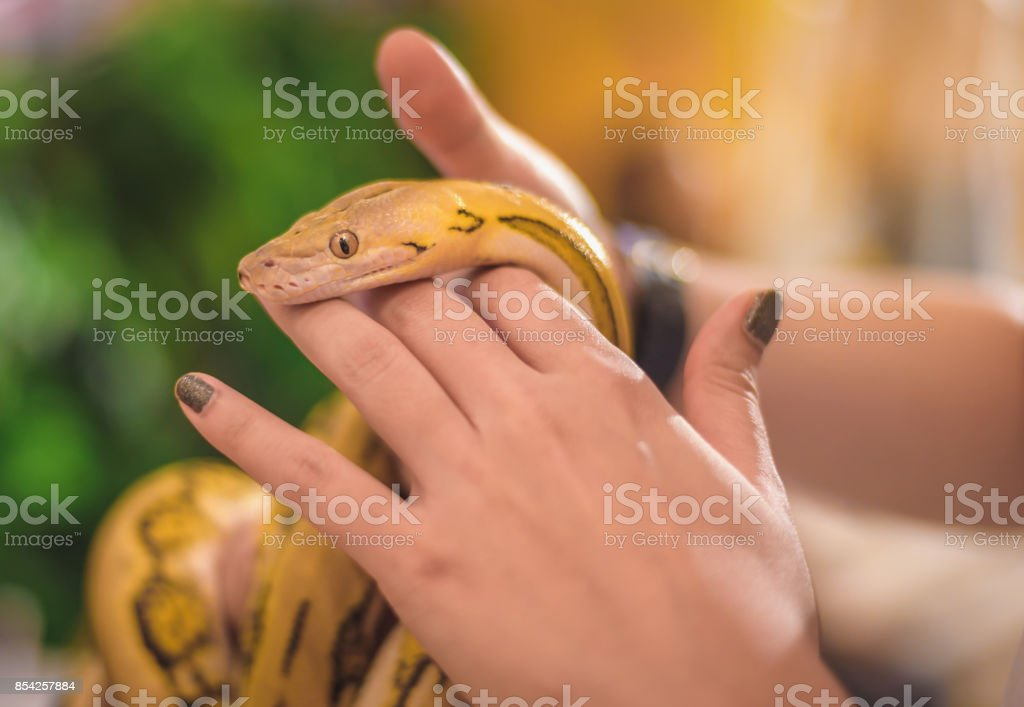 The hand of a woman holding a yellow boa is a lovely pet. stock photo
