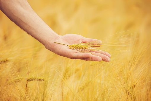 the hand of child and father on wheat field. Selective focus.