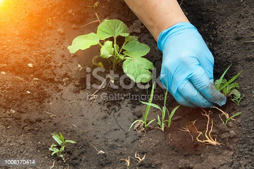 istock The hand pulls out the weeds 1006170414