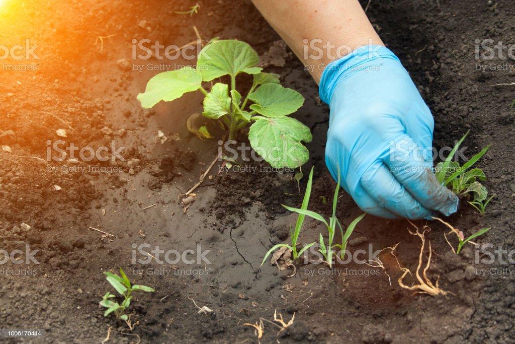 A mão arranca as ervas daninhas - foto de acervo