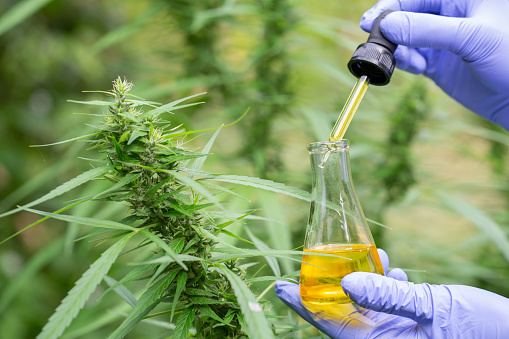 1177762728 istock photo The hands of scientists dropping marijuana oil for experimentation and research,  Concept of herbal alternative medicine, cbd hemp oil, pharmaceptical industry. 1186699975