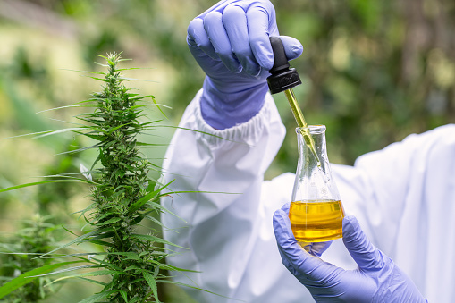 1177762728 istock photo The hands of scientists dropping marijuana oil for experimentation and research, ecological hemp plant herbal pharmaceutical cbd oil from a jar. 1188195139