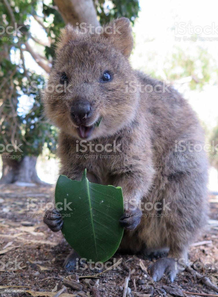 The happiest animal on earth-Quokka-Setonix Brachyurus on Rottnest...