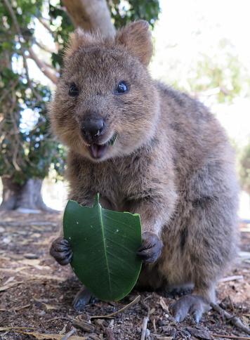 로트 니스 트 아일랜드 서 호주에 지구quokkasetonix Brachyurus에 행복 한 동물 갈색에 대한 스톡 사진 및 기타 이미지