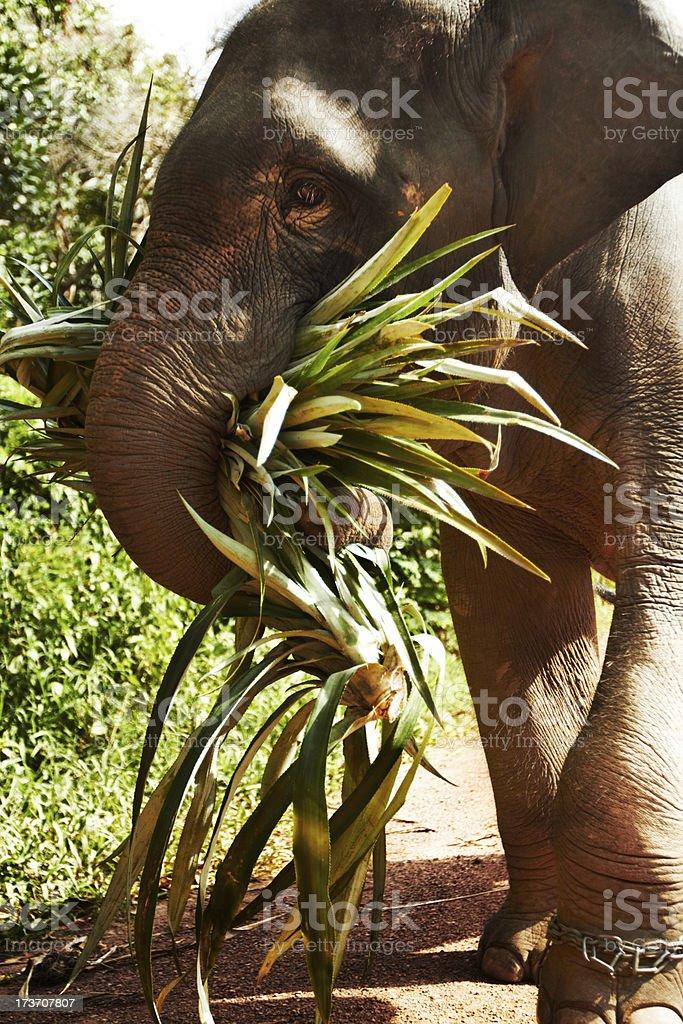 The hard working elephants of Thailand royalty-free stock photo