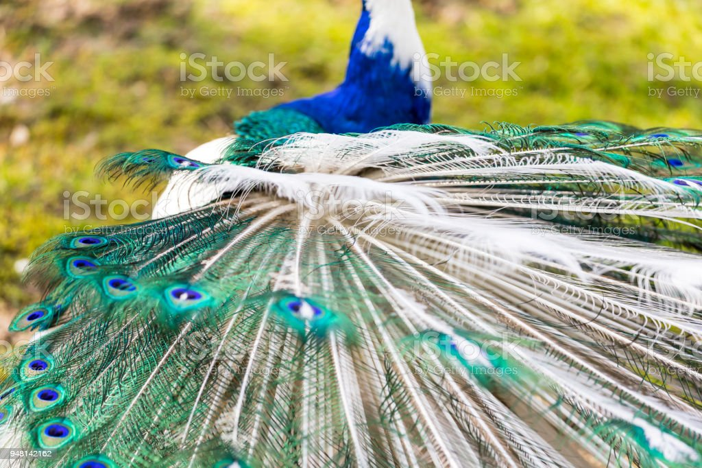 Fotografía de El Pavo Real Arlequín y más banco de imágenes de Azul ...