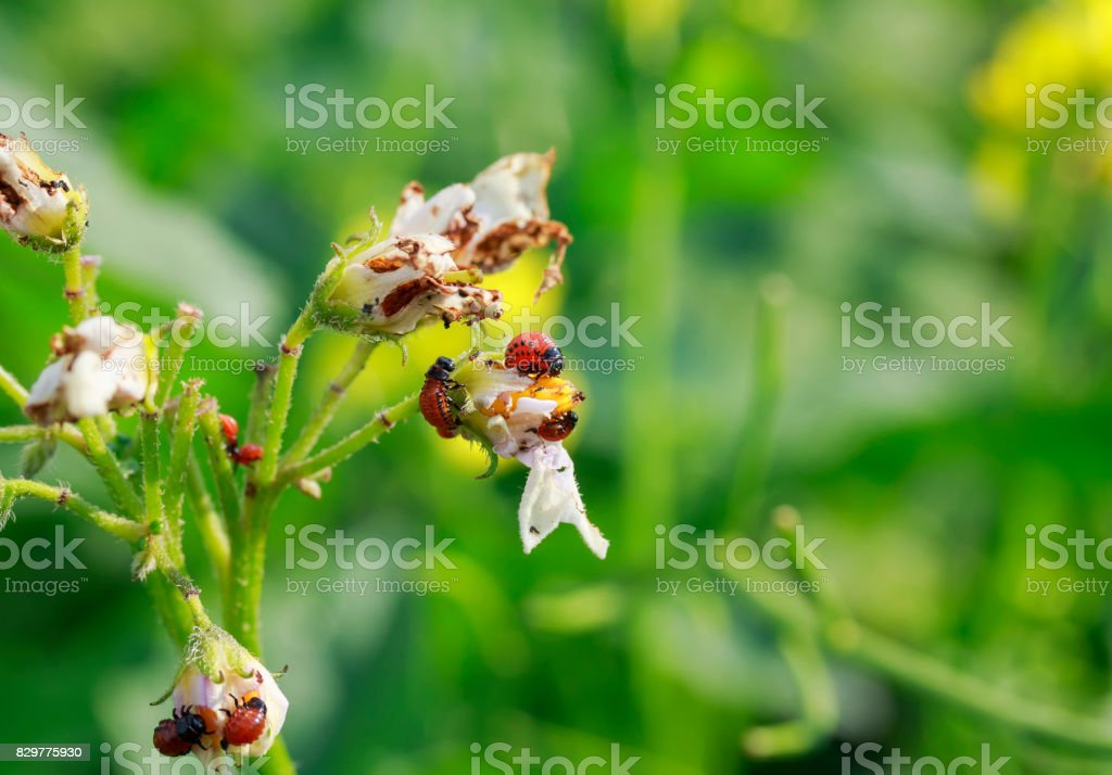the harmful larvae of the Colorado potato beetle ate the potato leaves in the garden stock photo